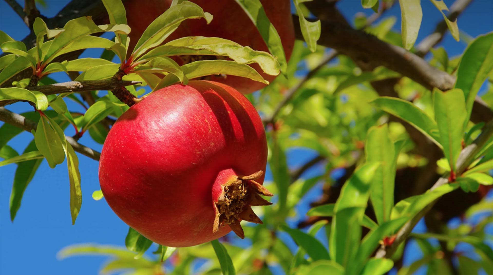 خواص پوست انار + موارد استفاده از جوشانده پوست انار