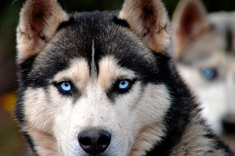 همه چیز درباره سگ هاسکی