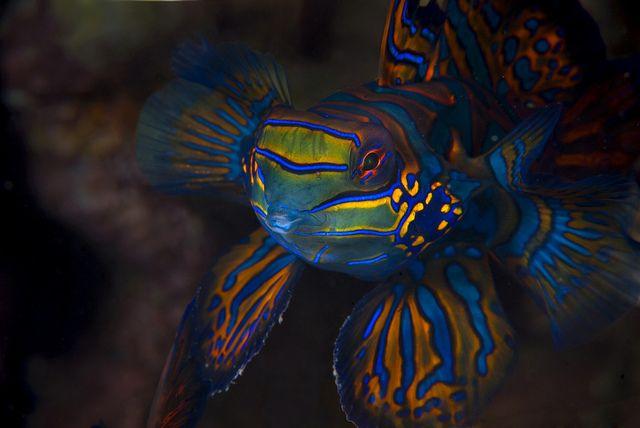 ماهی ماندارین ، اژدهای کوچک دریا ها