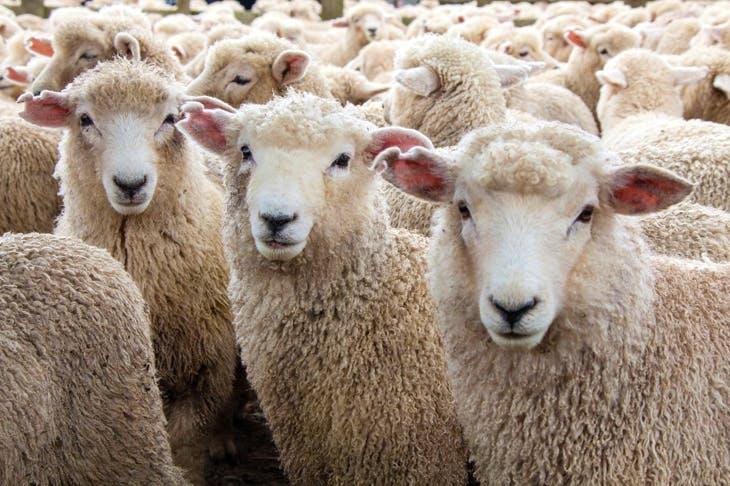 واردات گوسفند از رومانی