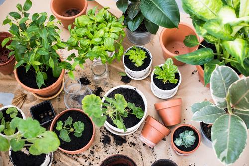 10 گیاهان همیشه سبز آپارتمانی (1)
